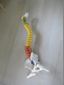 脊柱模型復活