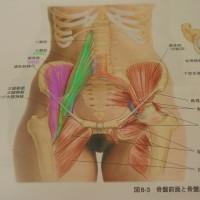 腸腰筋(大腰筋・腸骨筋)