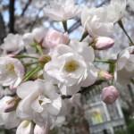 いつかどこかの桜