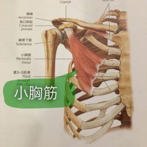 小胸筋 猫背・肩の内巻・胸郭出口症候群