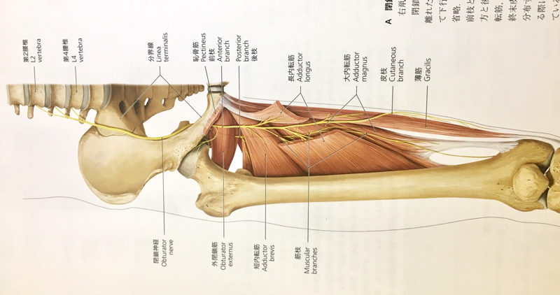 閉鎖神経 股関節からくる膝内側の痛み