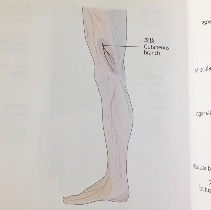 閉鎖神経支配 股関節からくる膝内側の痛み