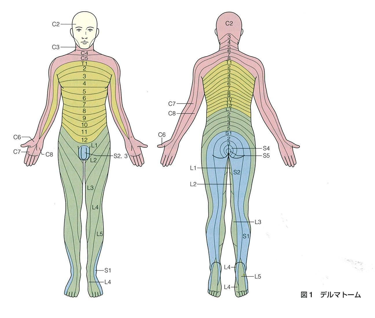 dermatome デルマトーム 皮膚分節